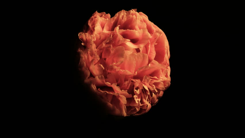 15 day 4K time lapse of a flowering peony isolated against a black background. Starting from a small bulb, blooming and blossoming to a beautiful flower, to eventually deteriorate and die.