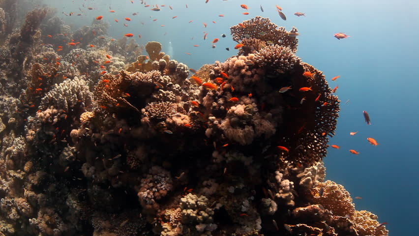 hard corals with reef fish and divers in background