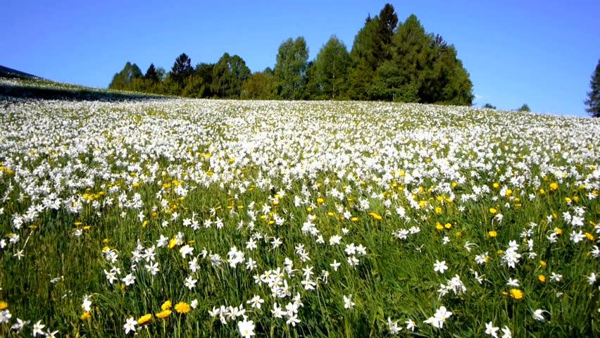AERIAL: Daffodil Meadow