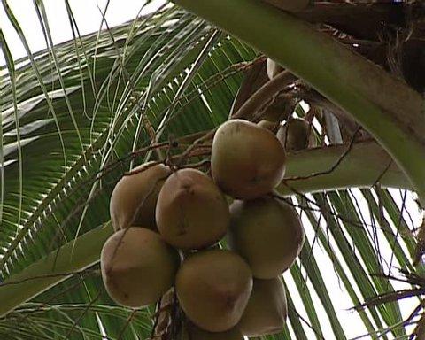 Mentawai picking up coconut