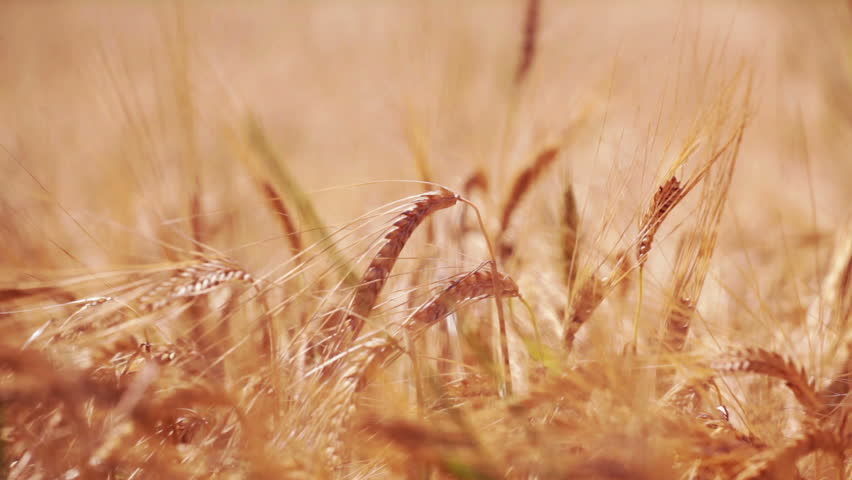 HD 1080: wheat fields in the fields; harvest is about to start;