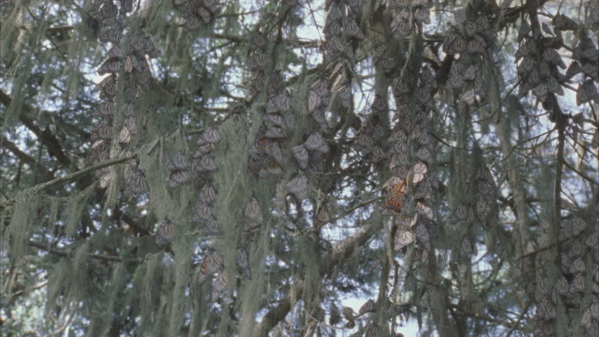 large cluster of monarchs on pine needles and air moss