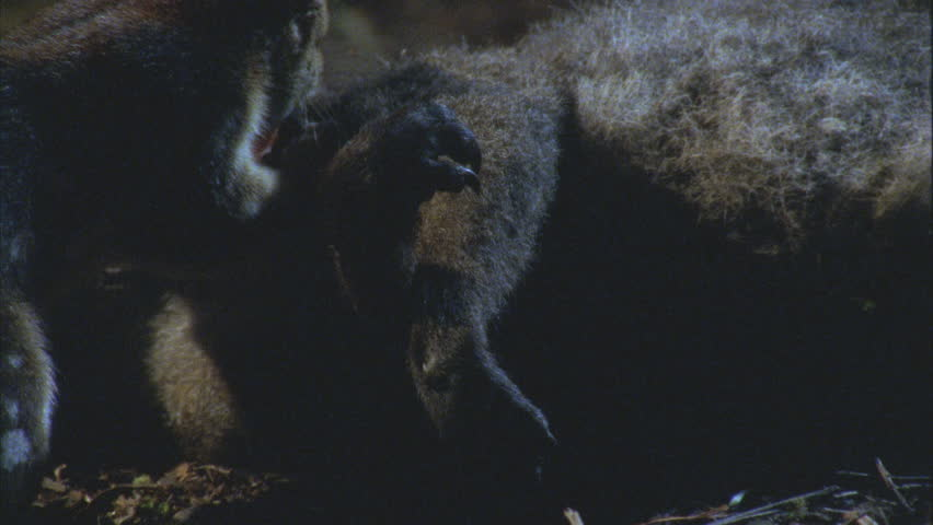 Quoll feeding on wallaby carcass