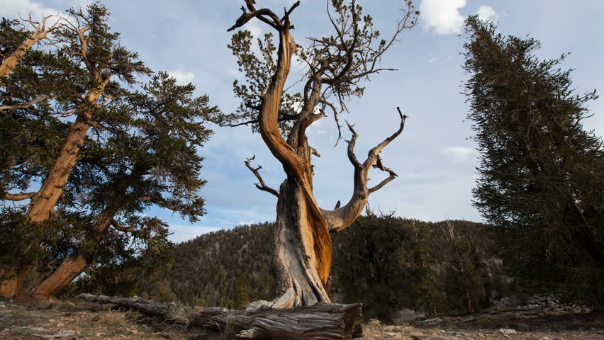 Time-lapse dolly shot of a pine at Ancient Bristlecone Pine Forest, California