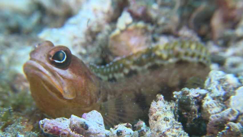 Brown Blotched Jawfish digging a new hole