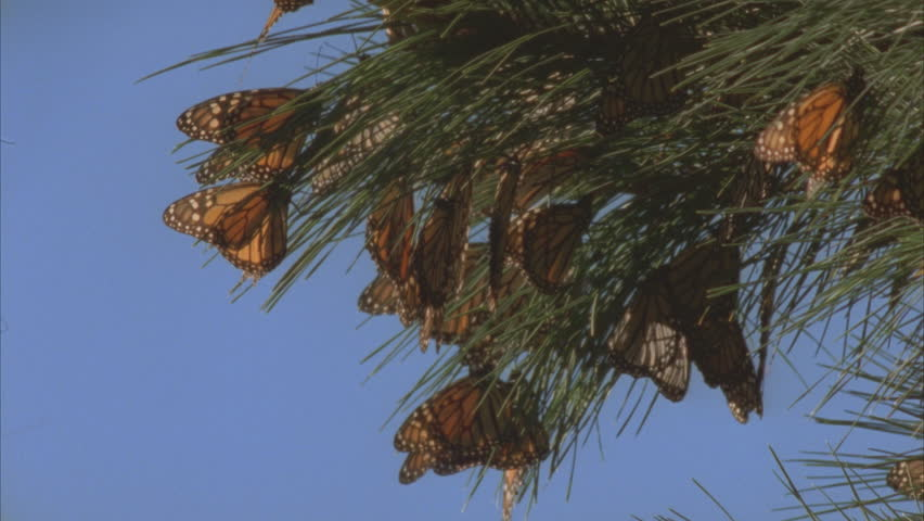large cluster of monarchs on pine needles
