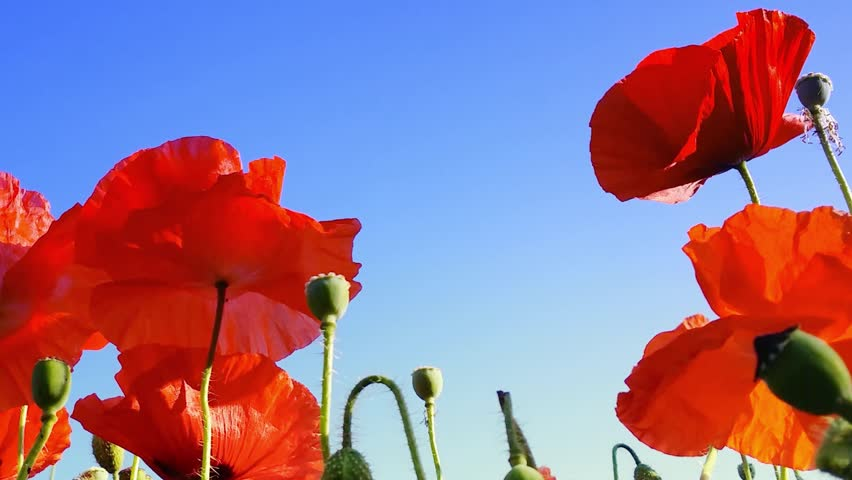 Poppy flower free video clips 174 free downloads poppy flowers on the spring field blue sky wind and sun light nature background mightylinksfo Choice Image
