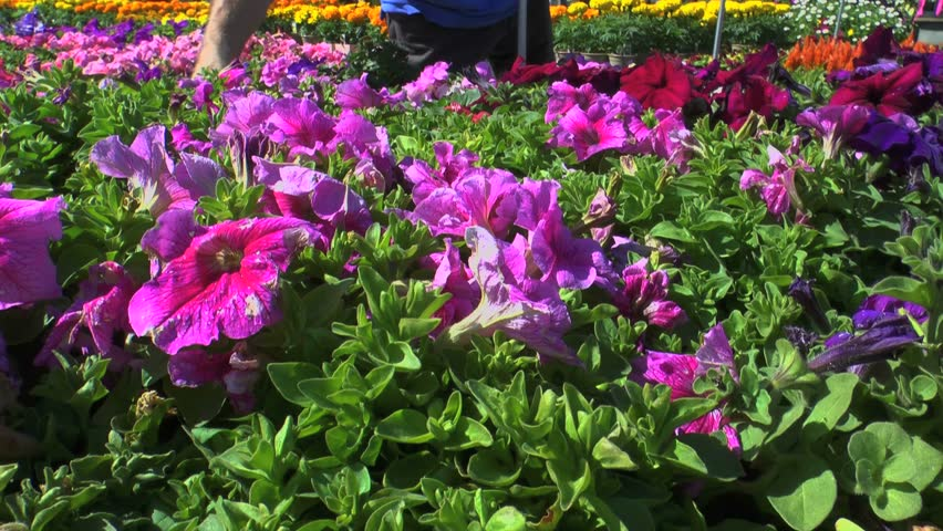 Choosing Beautiful Spring Flowers To Plant In Garden At Local Nursery 1080p