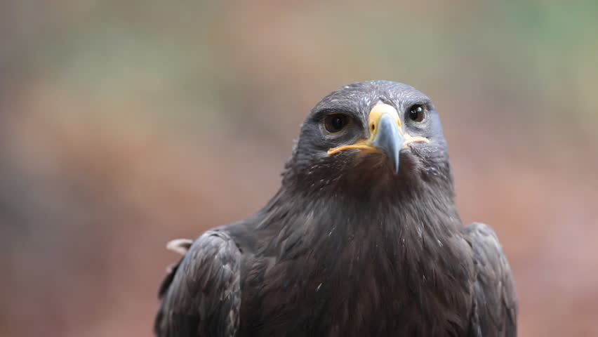 Steppe Eagle (Aquila nipalensis)  - close-up view footage of this majestic bird of prey