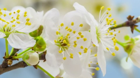 4k 25 fps macro time lapse video of a wild plum flower growing and blossoming on a blue background/Wild plum flower blooming macro timelapse