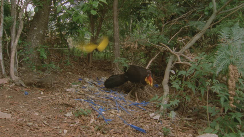 turkey scratching at bowerbirds bower and 2 bowerbirds fly through and regent attempts to attack
