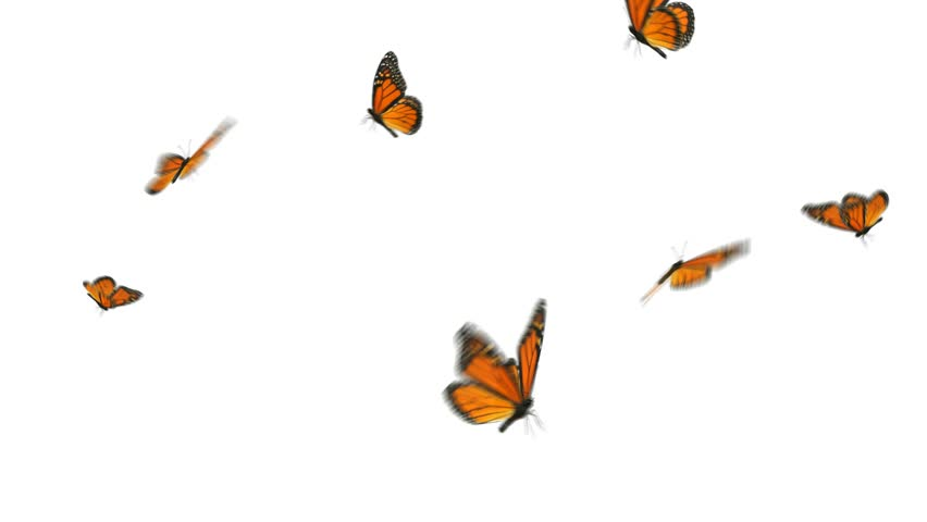 2445feb86 Monarch butterflies flying in a small group. HD 1080, digitally generated  and seamlessly loop-able.