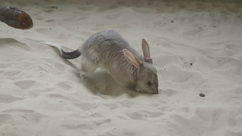 Close up shot of bilby digging in sand