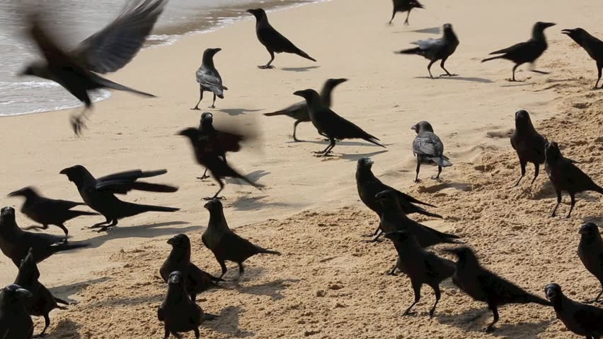 Flock of crows warily feeding on pile of small fish left on beach by fishermen in Trincomalee, Sri Lanka