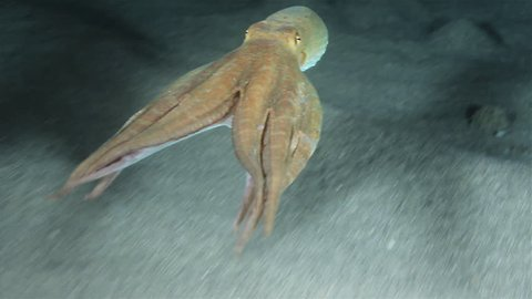 Octopus Vulgaris using jet propulsion. Shot in the wild, nighttime.
