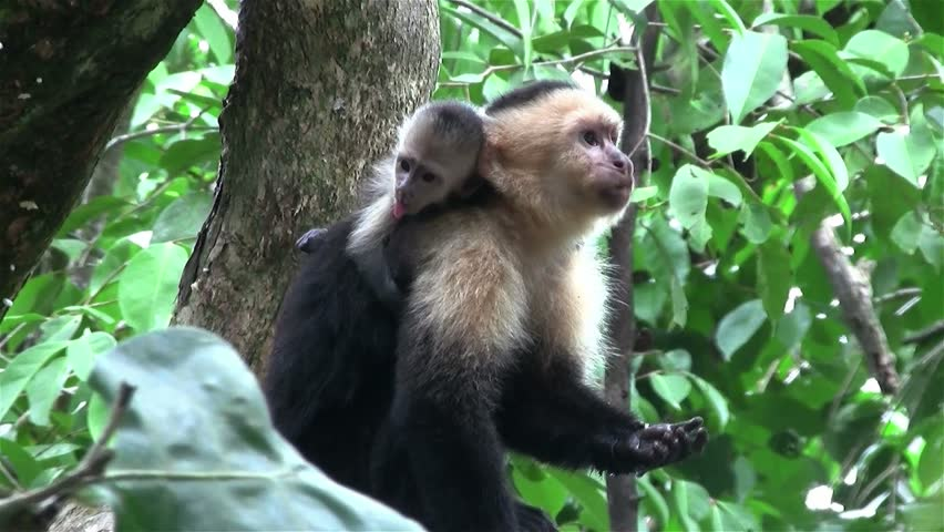 A capuchin monkey sits on a tree branch in Costa Rica.