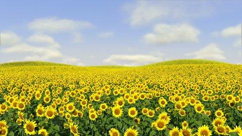 Sunflowers following Sun. Timelapse.