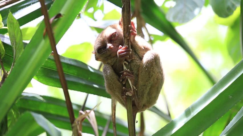 Philippine tarsier in national park ( Bohol, Philippines )