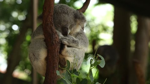 Koala bear on tree branch. The koala (Phascolarctos cinereus) is an arboreal herbivorous marsupial native to Australia.