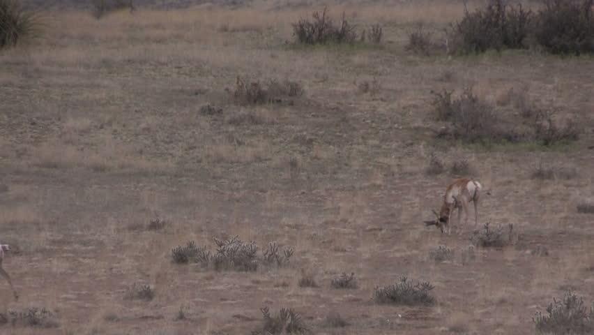 Rutting Pronghorn Antelope Buck #6140360