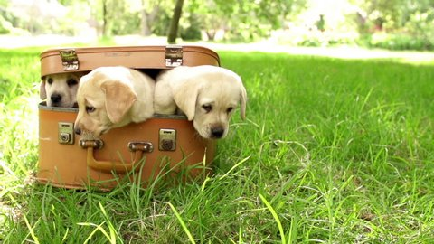 Labrador puppies in suitcase lying on green grass in slow motion