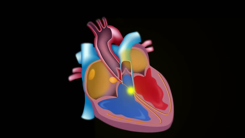 Electrical activity of the heart illustrated on top of the blood flow, seamless loop. | Shutterstock HD Video #6215150
