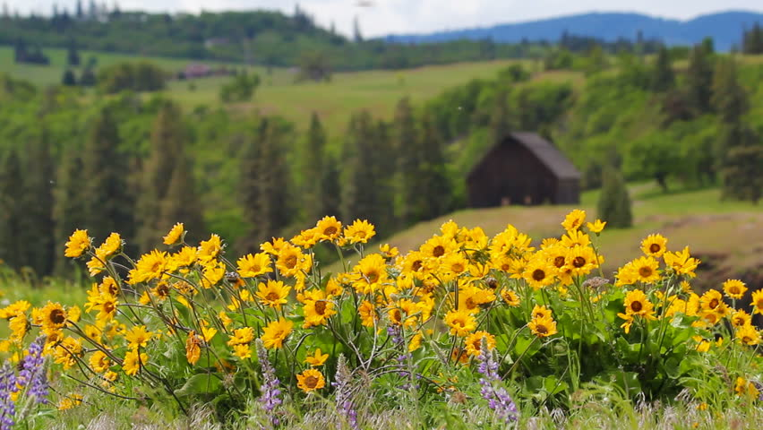 Balsamroot and Lupine Wildflowers Blooming Spring Season on Rolling Hills Landscape in Maryhill Washington on a Windy Day 1920x1080