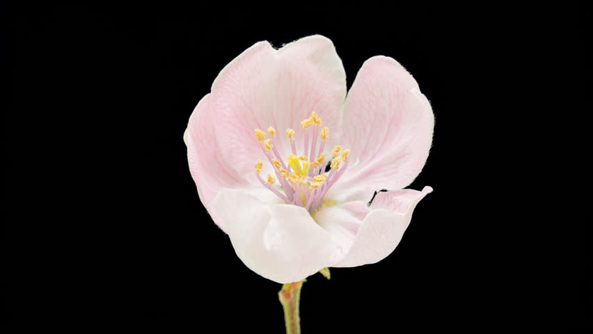 Quince flower growing timelapse cut out, encoded with photo png, transparent background/Quince flower blossoming cut out timelapse.