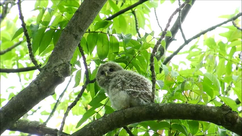 """Date:May 30,2012,Filming site:""""Shinrinkouen"""",Hokkaido,Japan  /The baby of the owl after leaving a nest_4/ The baby of a newborn owl.  It cannot fly yet."""