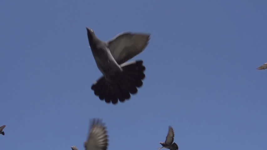 Flock of Pigeons in the Sky. Camera is pointed straight up. Pigeons fly over it gracefully against the blue sky. Slow Motion at a rate of 480 fps
