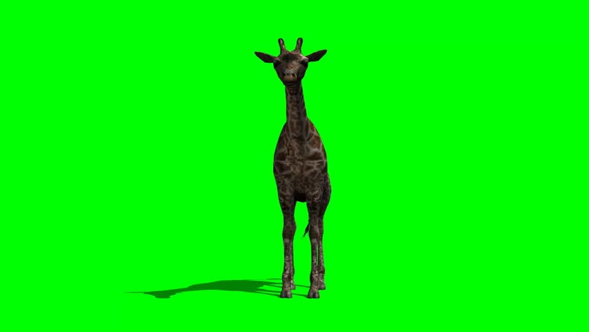 giraffe standing and looking around  - green screen #6402800