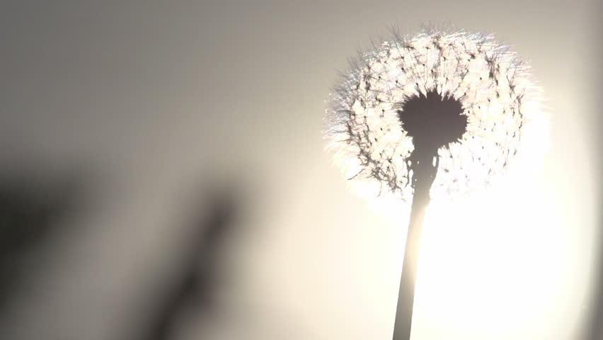 Blowing Dandelion Seeds. Flying dandelion seeds against the bright sun. Slow Motion at a rate of 240 fps
