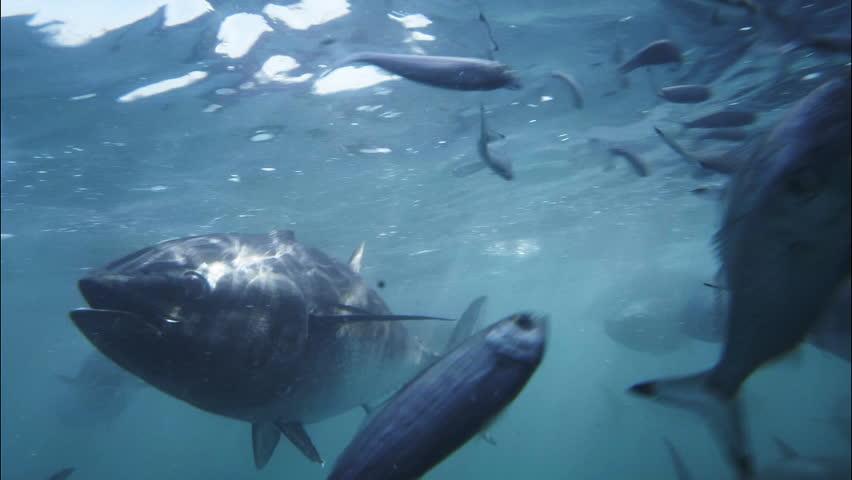 feeding frenzy of farmed bluefin tuna
