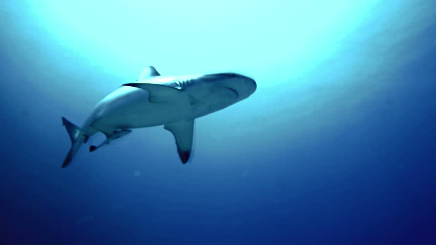 underwater shot of Grey Reef Shark, close encounter, turns away, sun and surface in background, shot in the Red Sea, Sudan