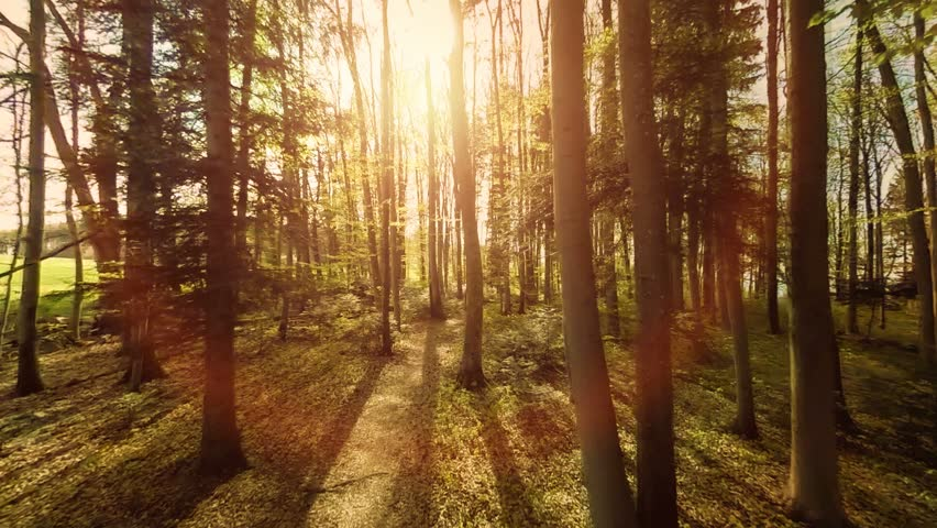 forest trees. flying trough forest. tree woods. trees silhouette. sun flare sunset. nature background