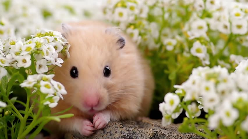 Golden Hamster in alyssum flower garden