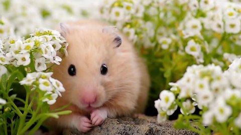 Golden Hamster in alyssum flower garden