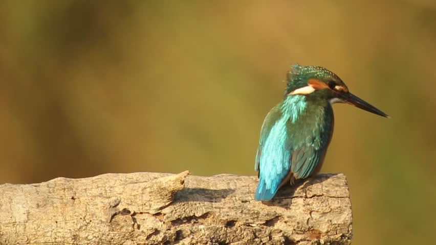 Common Kingfisher | Shutterstock HD Video #6457340