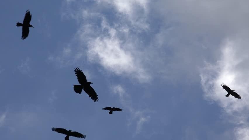 Ultra HD 4K Flock of Crows Flying on Cloudy Sky, Ravens in Flight, Birds in Air