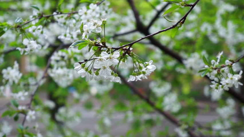 Cherry Tree Blooms White Flowers Stock Footage Video 100 Royalty