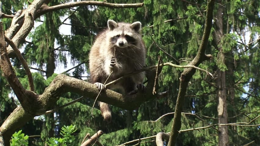 North American raccoon (procyon lotor) climbing a tree - tracking shot.