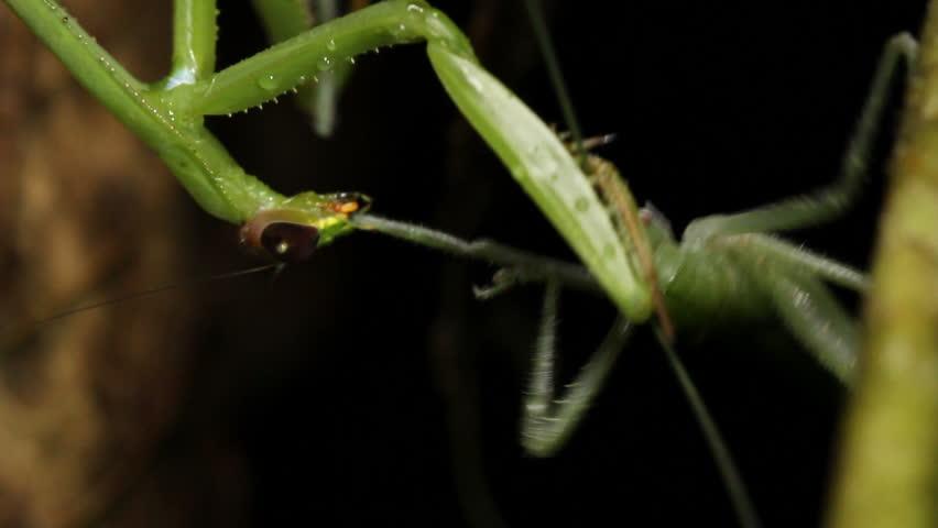 Praying Mantis feeding on a large katydid at night. Filmed in the wild. In tropical rainforest, Ecuador.