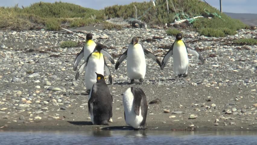 Group of King penguins on Pinguino Rey en Tierra del Fuego