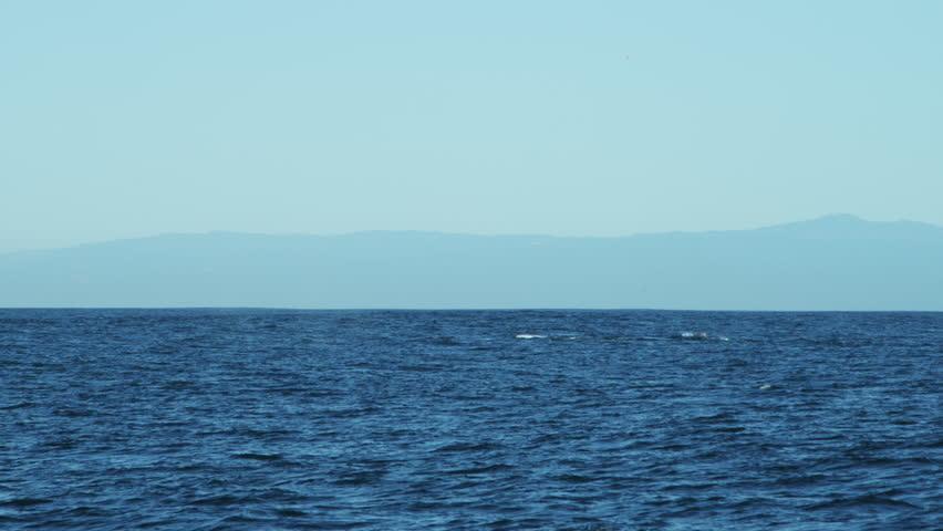 Breaching Humpback Whale Mammal Coastal Waters Pacific Ocean - Usa northern hemisphere