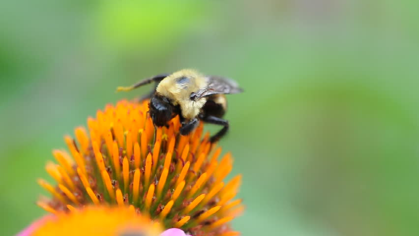 Bee collecting pollen on an echinacea flower | Shutterstock HD Video #6717250