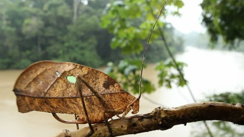 Leaf mimic katydid in the rainforest with the Rio Tiputini in the background, Ecuador.