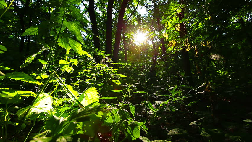 Morning in the forest. the sun's rays pass through trees | Shutterstock HD Video #6750040