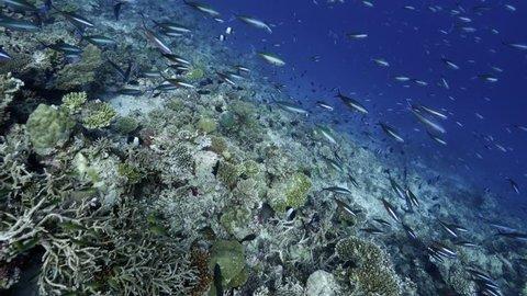 Fusilier Fish School Swim Over Reef in Maldives