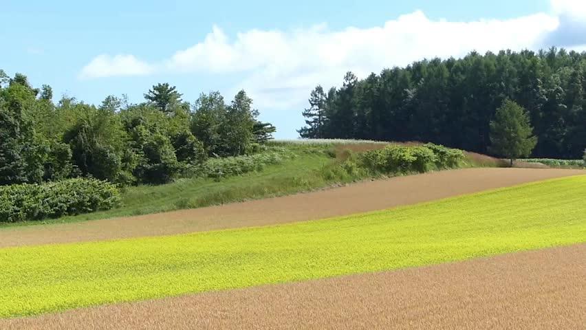Line yellow rape fields and wheat fields._3 / Shooting date; July 21,2014 Location;. Hokkaido,Japan /  Rape fields of bright colors planted like a line in the vast wheat fields. Countryside of Japan.