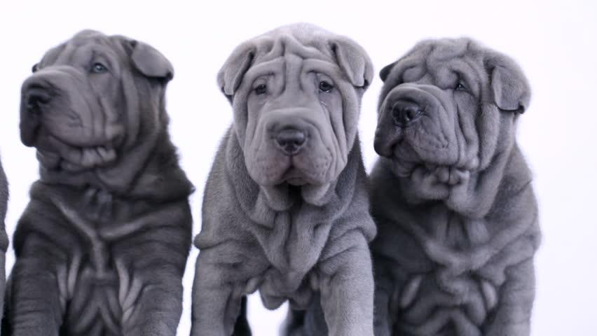 Blue Shar Pei Dog